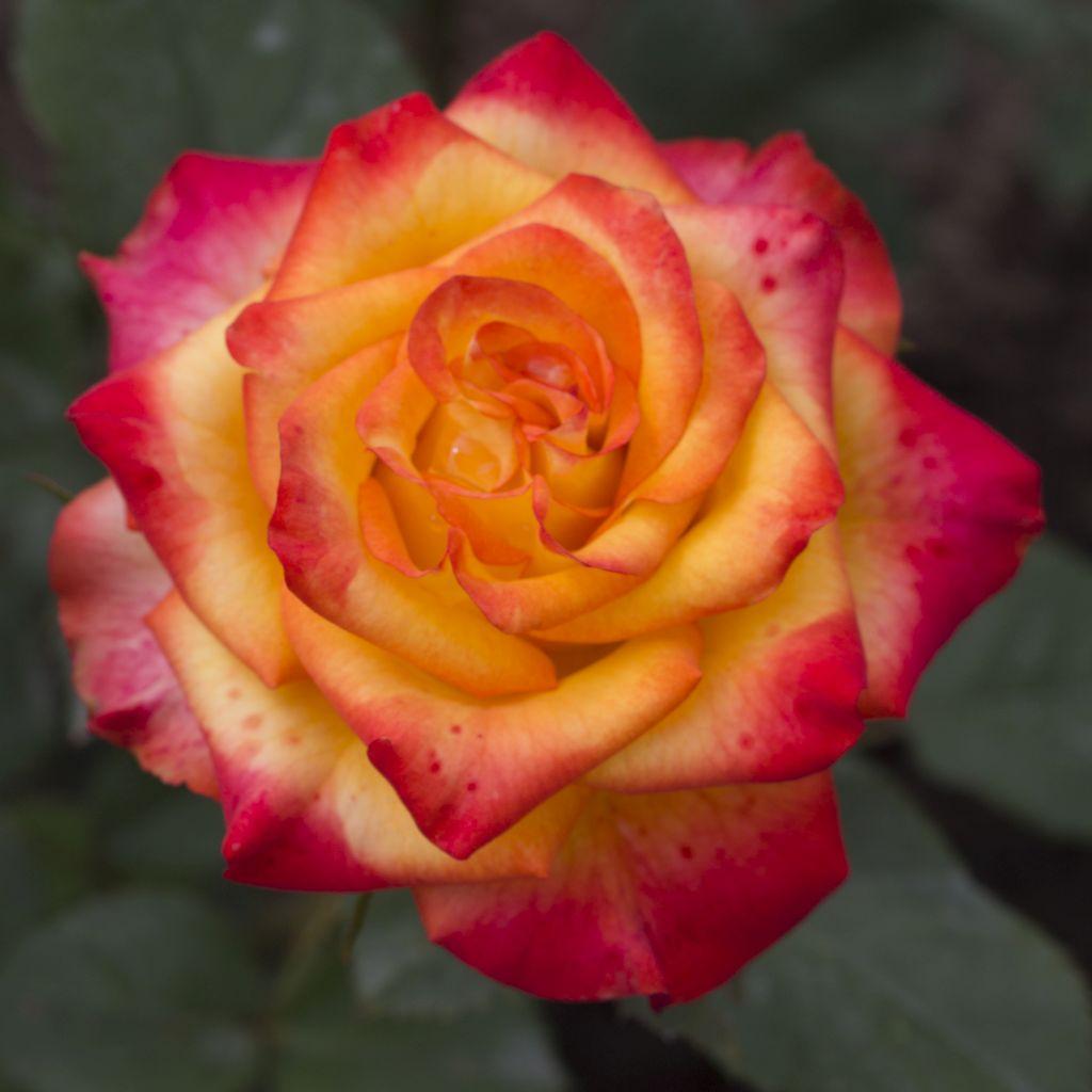 Чайно гибридные розы саженцы купить в г москва доставка цветов г.брянска