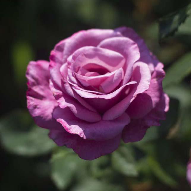 Купить саженцы голубой розы почтой сайт для заказа цветов в цветочный магазин