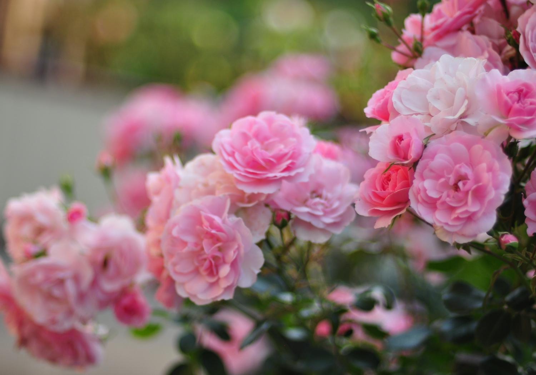 Купить саженцы розы для посадки в москве дешево доставка цветов курьер машина