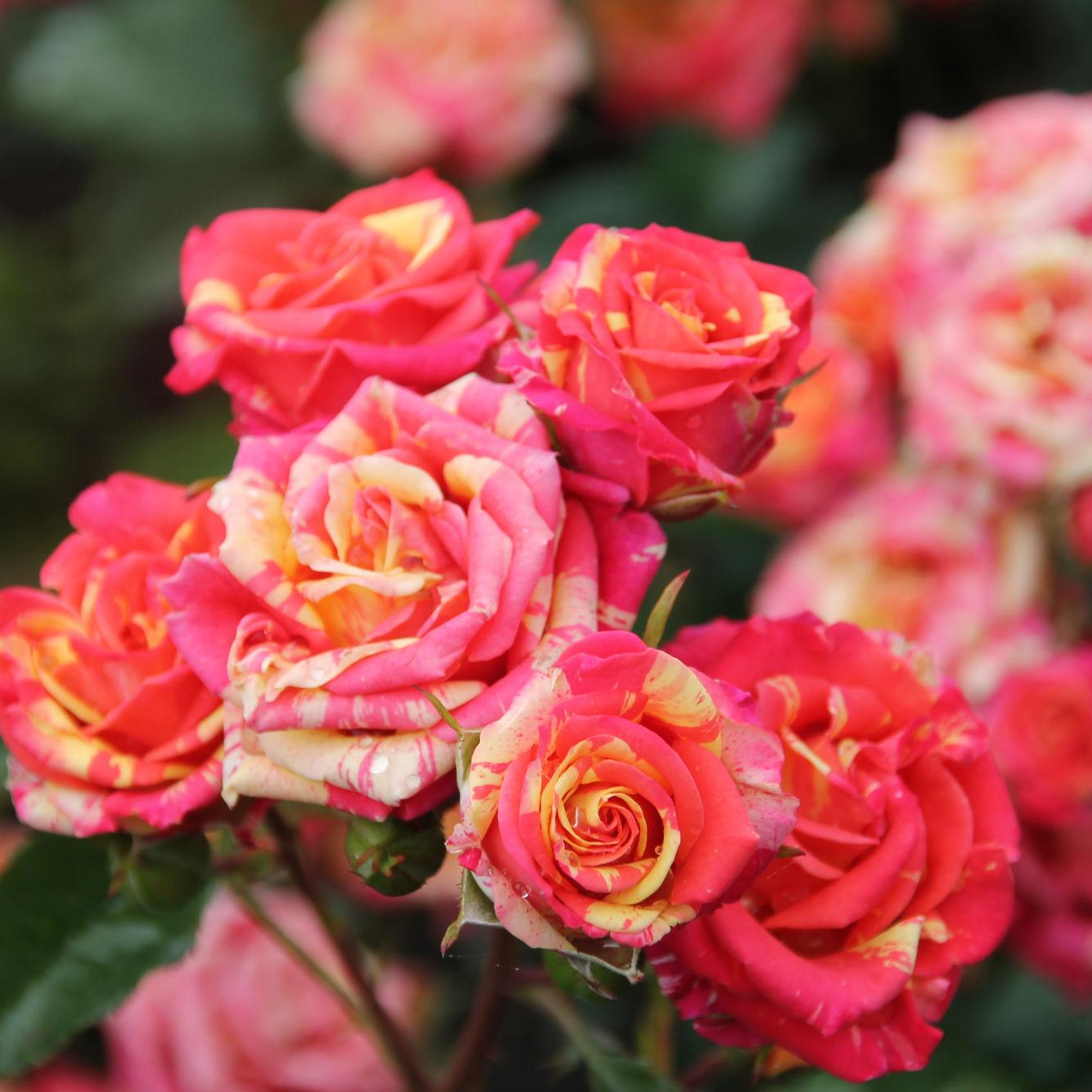 Купить почтой саженцы спрей розы